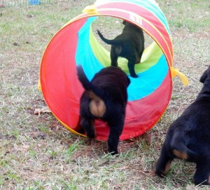 B-Naturals puppies agility course.