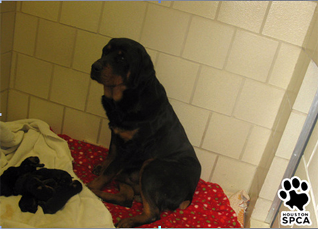 Rottweiler in kennel