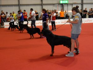 Show dogs in competition