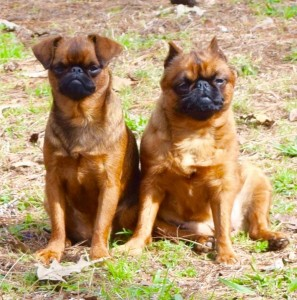 brussels-griffon-puppies