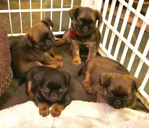 Four Brussels Griffen Puppies