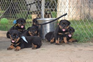 Rotweiller Puppies