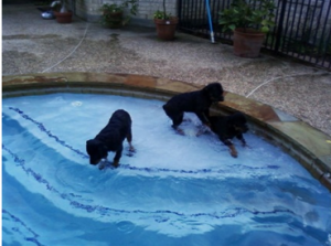Rottweillers swimming