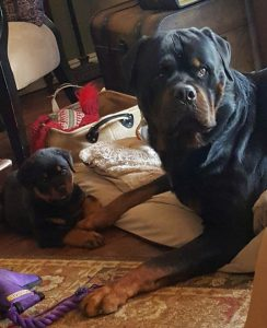 rotweiller-dog-puppy