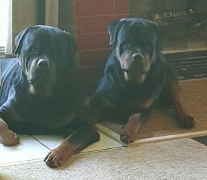 Two Rottweilers Lying Down